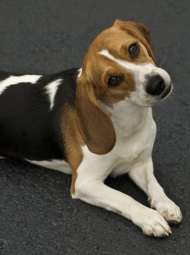 Nikki the beagle