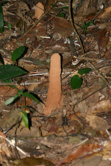 Aother Penis Shape in the Jungle
