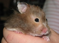 nose, animal, rat, rodent, pet, snout, mouse, hamster, fauna, close-up, dormouse, whiskers, pest, gerbil,