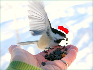 red-capped chickadee