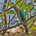 Asian Emerald Cuckoo - Photo (c) Somchai Kanchanasut, some rights reserved (CC BY)