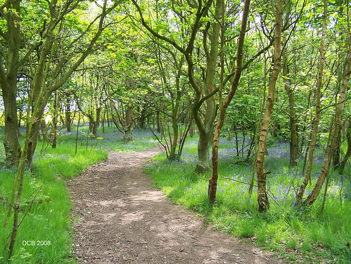 bluebell wood 08