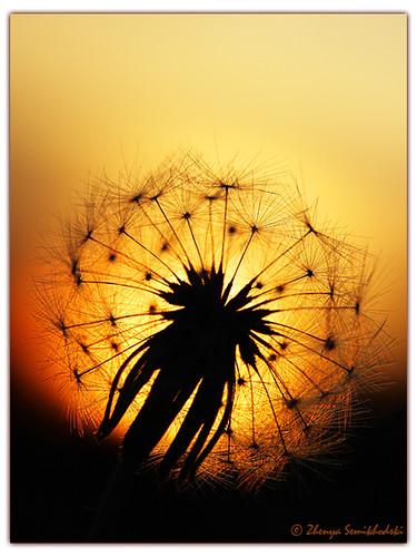 dandelion sunset related keywords - photo #13