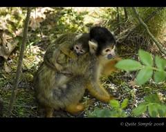 Squirrel Monkey's