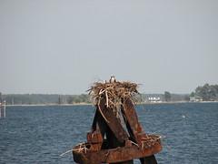 3674 Osprey on Nest