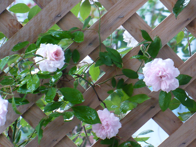 Climbing Rose and Terrace 1