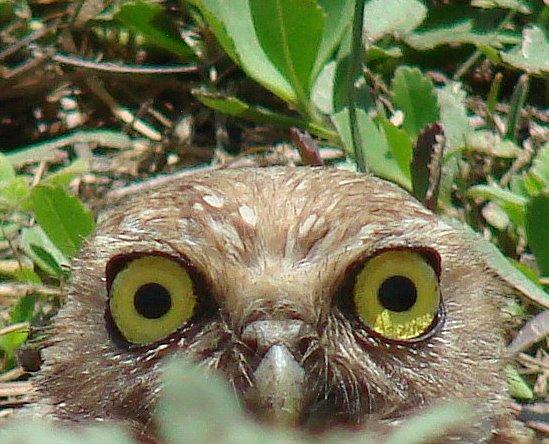 Mochuelo de hoyo [Burrowing Owl] (Athene cunicularia minor)