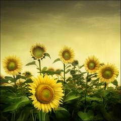 Bulgarian Sunflowers