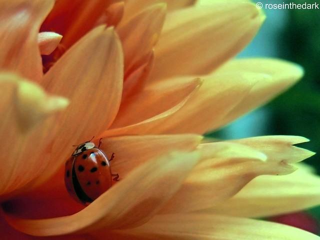 Ladybird's nest