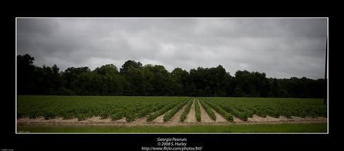 georgia peanuts august