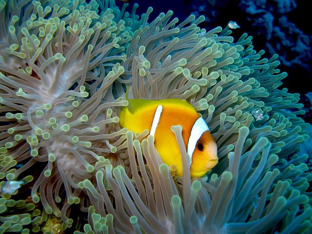 Pez payaso entre las anémonas. Los arrecifes coralinos del Mar Rojo.