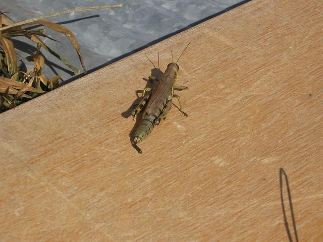 Grasshopper poop - photo#9
