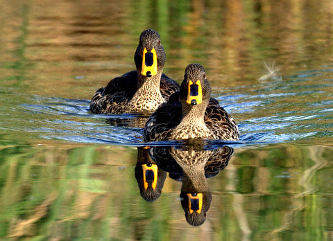 Yellow-billed duck (Anas undulata) Geelbekeend | by Peet van Schalkwyk