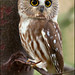 Saw-Whet Owl - (Oct 2009)