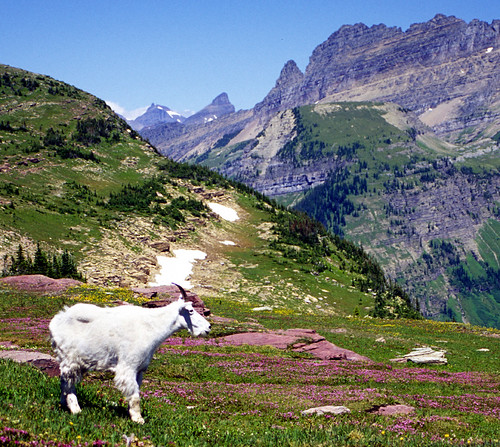 Logan Pass goat, Glacier National Park