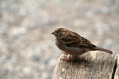 animal, sparrow, perching bird, fauna, finch, close-up, emberizidae, beak, house sparrow, bird, lark, wildlife,