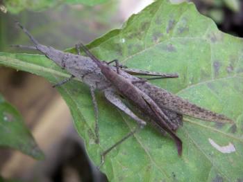 Atractomorpha sinensis 2348646891_648a1c98d2_o