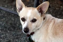 czechoslovakian wolfdog(0.0), carolina dog(0.0), canaan dog(0.0), street dog(0.0), korean jindo dog(0.0), wolfdog(0.0), australian cattle dog(0.0), saarloos wolfdog(0.0), dog breed(1.0), animal(1.0), puppy(1.0), dog(1.0), pet(1.0), mammal(1.0), norwegian lundehund(1.0),