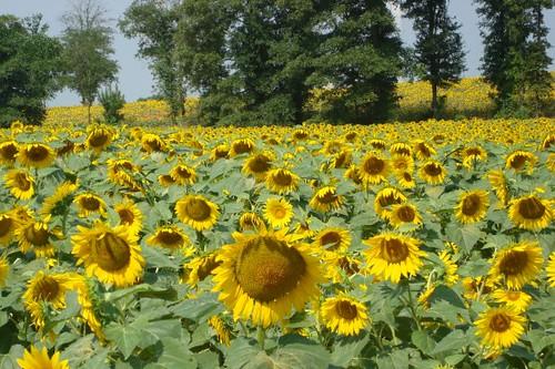 sunflower fields 2 by - photo #7