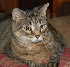 animal, tabby cat, small to medium-sized cats, pet, european shorthair, close-up, cat, rusty-spotted cat, wild cat, carnivoran, whiskers, domestic short-haired cat,
