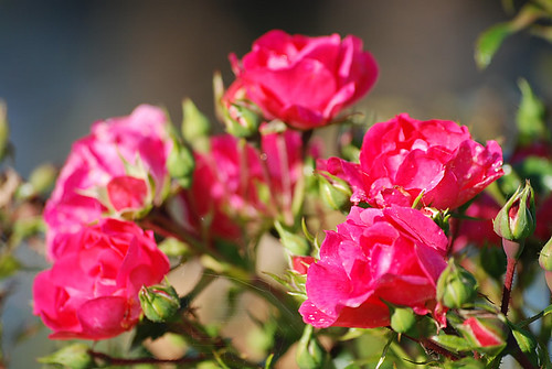 Taille des rosiers le blog d 39 glantine lilas nalge - Quand tailler les lilas ...