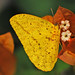 Large Orange Sulphur - Photo (c) Jerry Oldenettel, some rights reserved (CC BY-NC-SA)