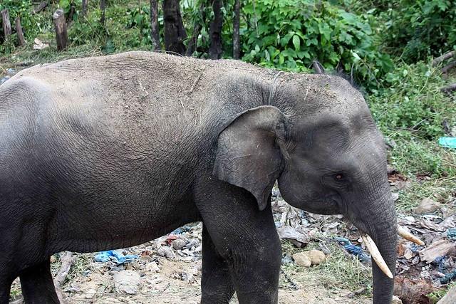 Sumatran elephantSumatran Elephant