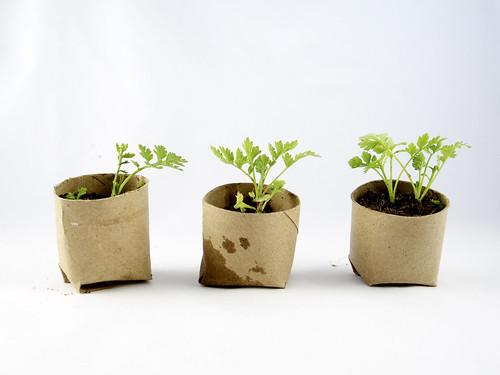 Group of three seedlings in repurposed toilet paper rolls