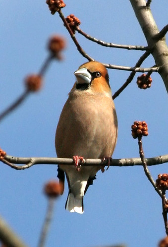 Hawfinch; Coccothraustes coccothraustes