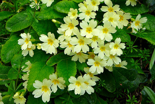 Primroses by Tim Green aka atoach