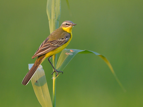 Blue-headed Wagtail (Motacilla flava flava)