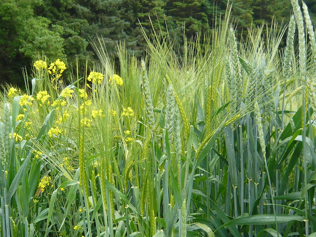 wheat and tares What is the parable of the wheat and the tares why did jesus often speak using parables instead of teaching more clearly.