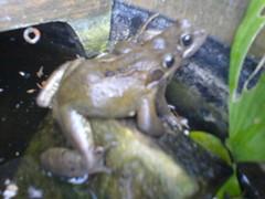 animal, amphibian, frog, marine biology, tree frog, fauna, ranidae,