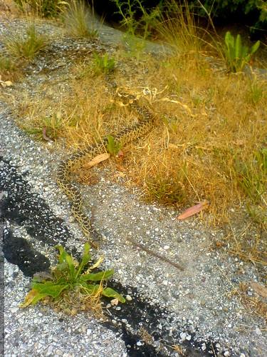 snake on the run   DSC01168