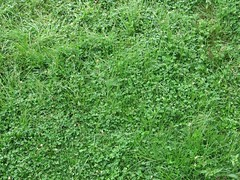 flower, leaf, grass, plant, herb, green, groundcover,