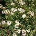 Small photo of Silene vulgaris