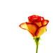 rose by .robbie