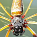 banana spider portrait