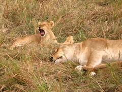 Réserve nationale du Masai Mara