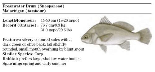Photo for How to cook drum fish
