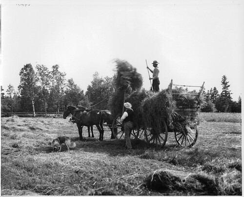 Haying at Pictou, NS, about 1908 by Musée McCord Museum