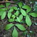 Pignut Hickory - Photo (c) Homer Edward Price, some rights reserved (CC BY)