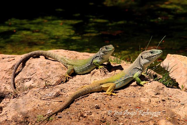 Macho y hembra de lagarto ocelado (Timon lepidus)