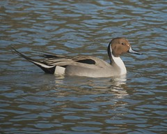 Male pintail duck