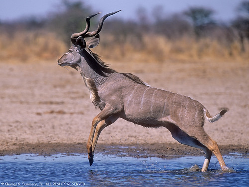 Kudu Leaping out of waterhole