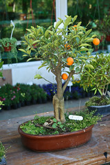 evergreen, shrub, calamondin, tree, plant, houseplant, bonsai,