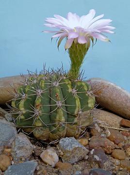 Jardin de sakuras algunos tipos de cactus for Cactus tipos y nombres