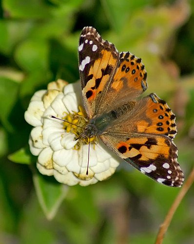 nature butterfly texas wildlife lepidoptera paintedlady