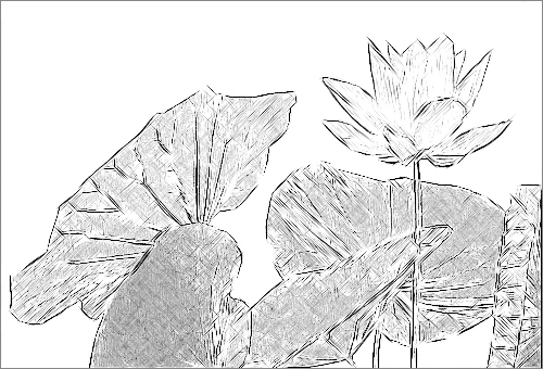 Lotus Flower Sketch Black White IMGP0071