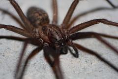 arthropod(1.0), animal(1.0), spider(1.0), invertebrate(1.0), macro photography(1.0), european garden spider(1.0), fauna(1.0), close-up(1.0), wolf spider(1.0),